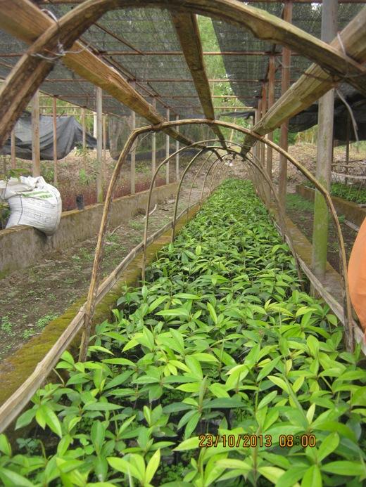 Penyemaian bibit tanaman Eboni