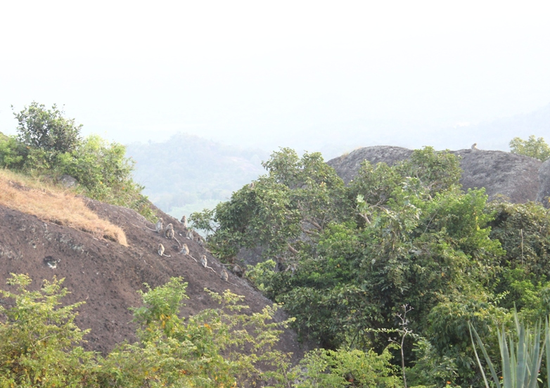 Kawanan kera di sekitar puncak Nglanggeran